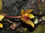 Bulbophyllum psittacoglossum, close