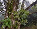 Schoenorchis gemmata, habitat cloud forest