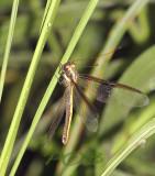 Libelhaft, dragonfly-like Owlfly, 5 cm  malaengchaang, Ascalaphidae - Neuroptera