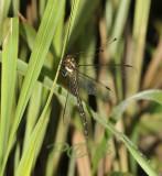 Libelhaft, dragonfly-like Owlfly, 6 cm - malaengchaang, Ascalaphidae - Neuroptera