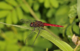 Orthetrum chrysis 2