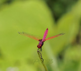 Trithemis aurora half size of usual species