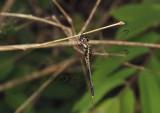 Zygonyx iris malayana