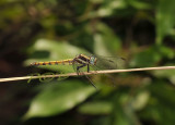 Orthetrum glaucum, female