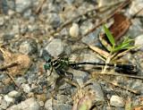 Microgomphus thailandica
