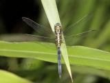 O. luzonicum