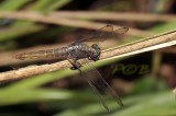 Orthetrum sp. female