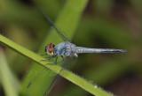 Brachydiplax sobrina, male
