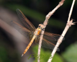 Trithemis aurora, immature male