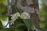 Dendrobium garretii