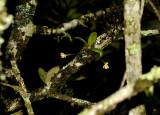 Thrixpermum ancoriferum