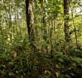 Staurochilus dawsonianus on forest floor