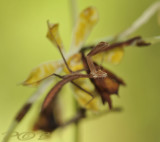 Staurochilus  with mantis