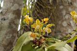 Hygrochilus parishii, New name is Phalaenopsis hygrochila
