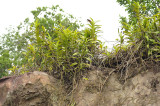 Staurochilus fasciatus on the edge of a lime-stone cliff