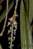 Cleisostoma rostratum