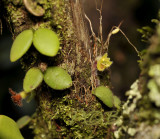 Trichotosia daysiphylla