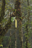 Dendrobium densiflorum , cloud forest
