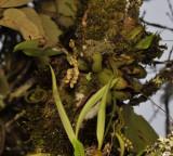 Pholidota bracteata