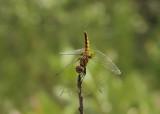 Aethriamanta brevipennis, female