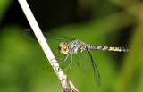Brachythemis sp. female