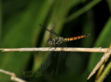Brachydiplax farinosa female