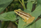 Frog, boomkikker
