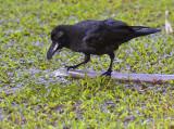 Thick-billed crow, Corvus macrorhynchos ssp. levaillantii