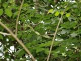Golden treesnake