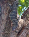 Monitor lizard - watervaraan, Varanus salvator ssp. komaini