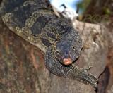 Monitor lizard - watervaraan, Varanus salvator ssp.komaini