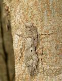 Invisible barkmantis, Humbertiella sp.