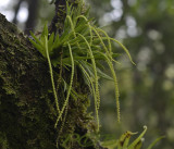 Oberonia brachystachys