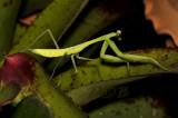 Gigant green mantis nimph, Hierodula membranacea