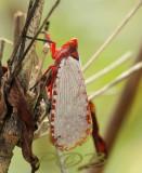 Treehopper,  Aphaena submaculata