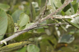 Stick insect camouflage