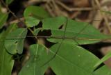 Clonaria sp. male