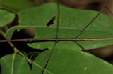 Clonaria sp. male, close