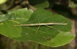 Lopaphus sp.