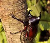 Xylotrupes gideon, fighting beetle