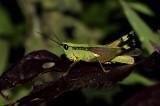 Grasshopper no I.D.  nightshot