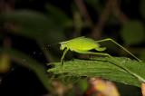 Small green leaf nimph, nightshot
