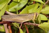 Takkaten, 5 cm, common grasshopper often used for human food, Cyrtacanthacris sp.