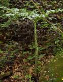 Phallus plant 1.5 meter