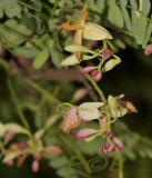 Tamarind blossem