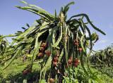 Cactus fruit in culture