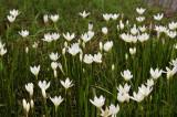Liliaceae in swamp at 1200 meters
