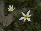 Liliaceae sp. 6 cm