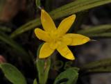 Gagea sp. 1 cm