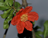 Pomegranate blossem